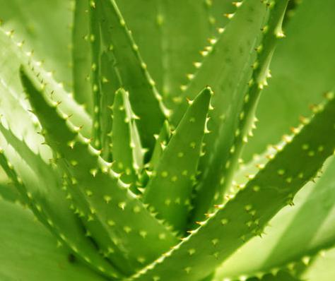 水润保湿功效排行——芦荟