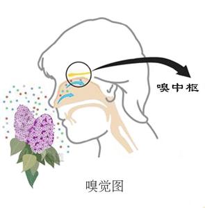 隆鼻以后多久恢复嗅觉