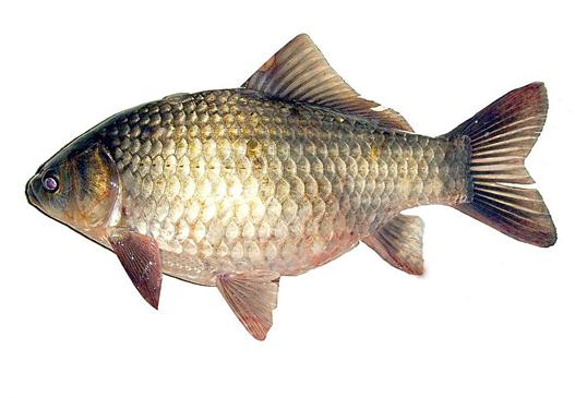 胃十二指肠溃疡药膳——砂曲蒸鱼