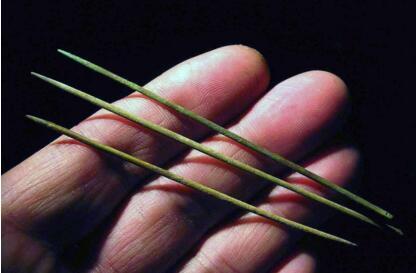 针灸的使用比中药早了约一千年!