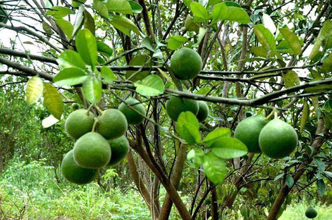 化橘红原植物——柚